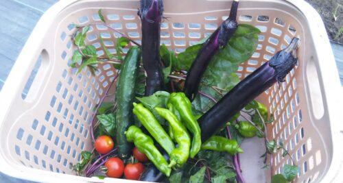 ただいま夏野菜の収穫期! こちらはレンタル農園付きマンションです